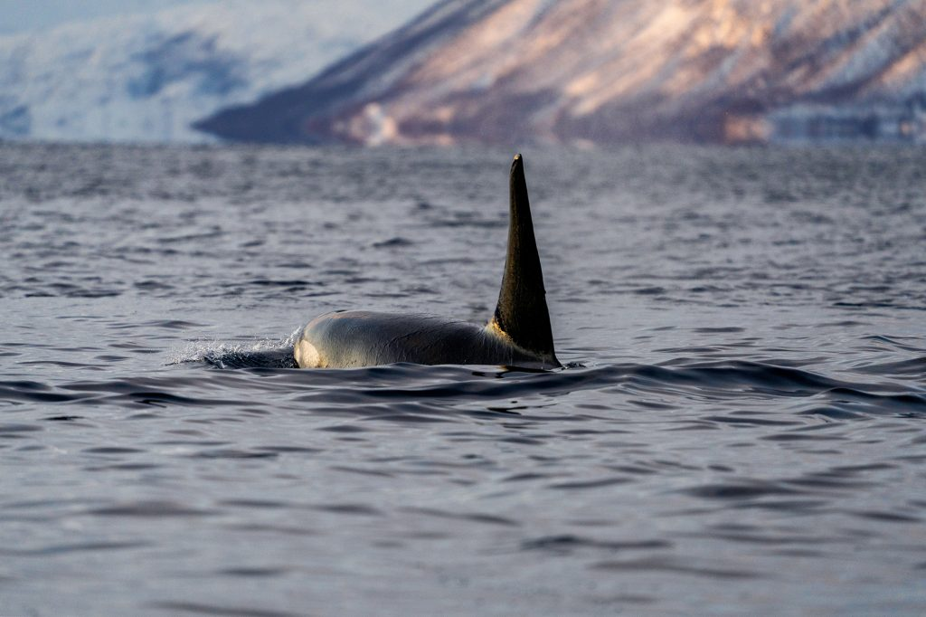 Male Orca in the North Sea