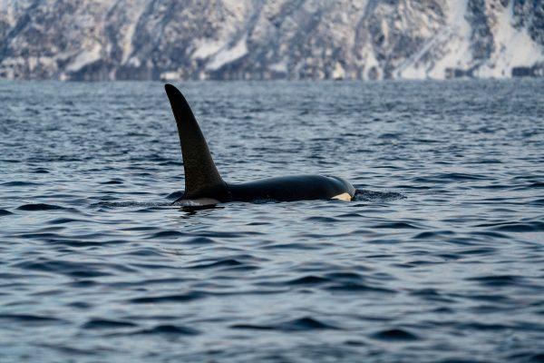 Male Orca in Skjervoy