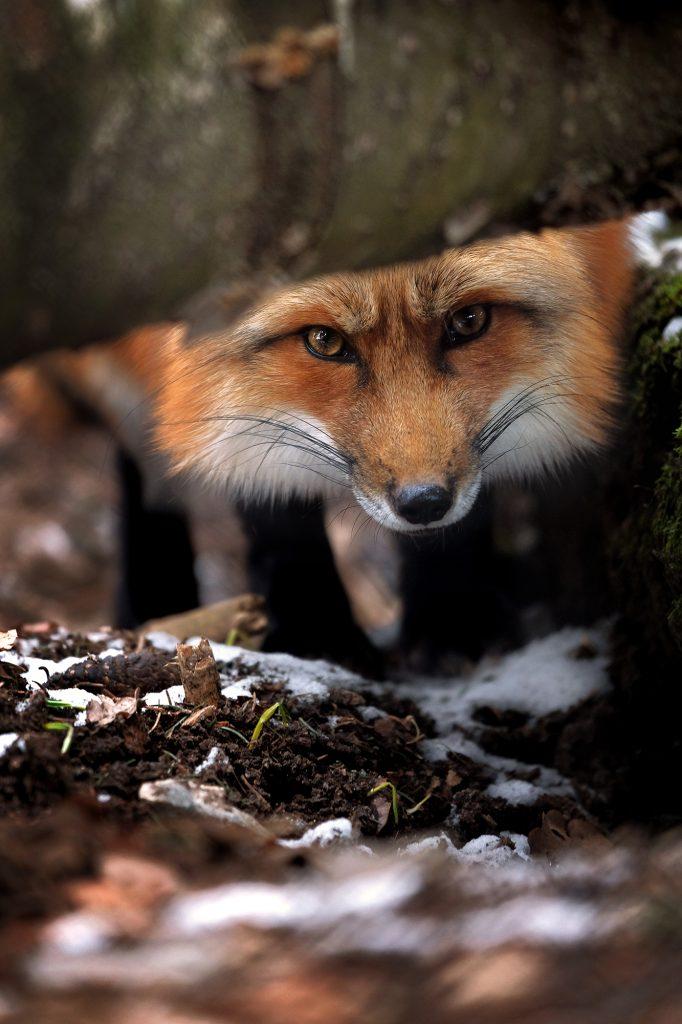 Peeking Red Fox in Germany