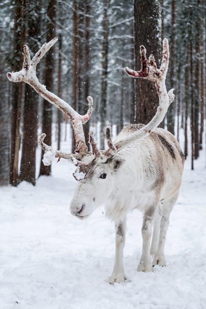 Male Reindeer in Levi, Lapland