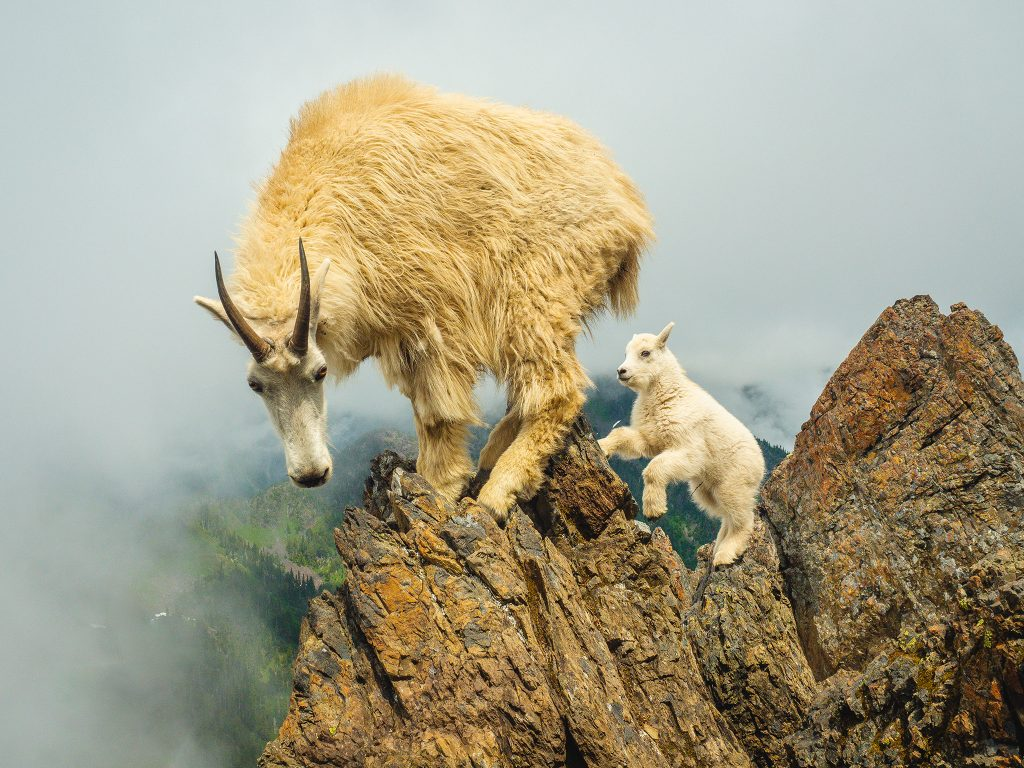 Mountain Goat Mount Ellinor