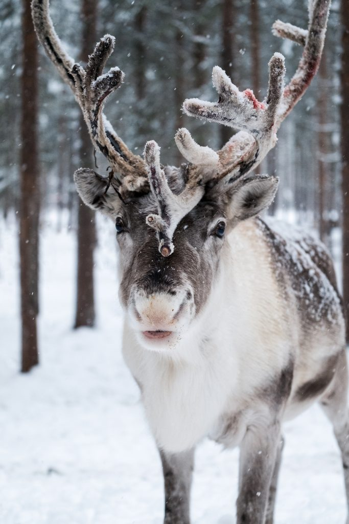 Finnish Reindeer Portrait