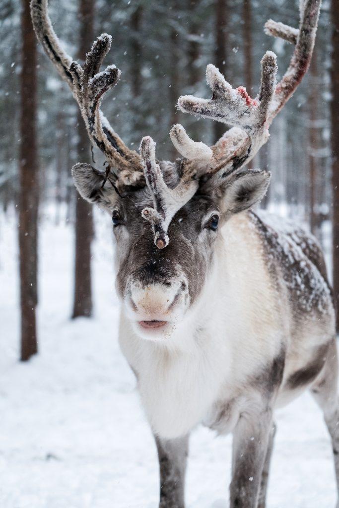 Finnish Reindeer Portrait