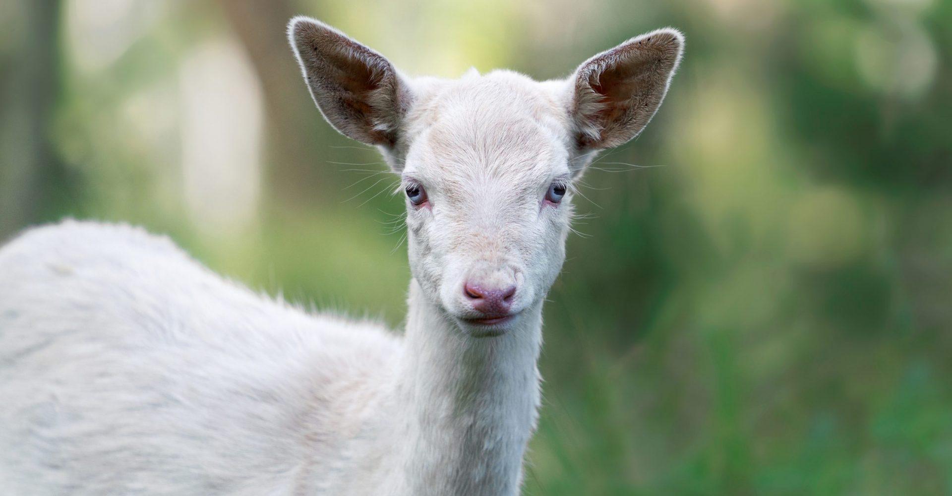 Albino Roe Deer in Bavaria, Germany