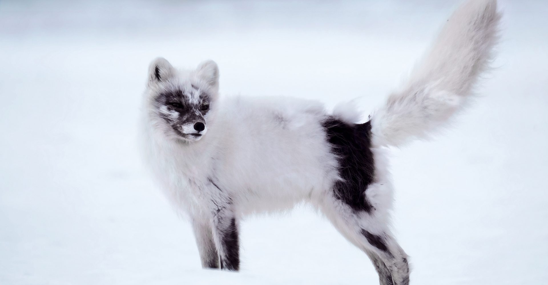 Arctic Fox Shedding Winter Fur