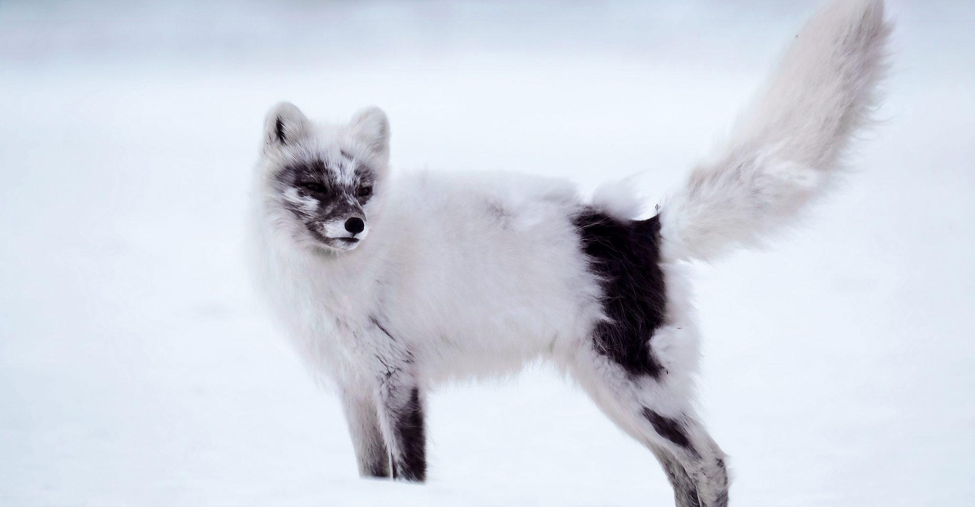 Arctic Fox Shedding Winter Fur