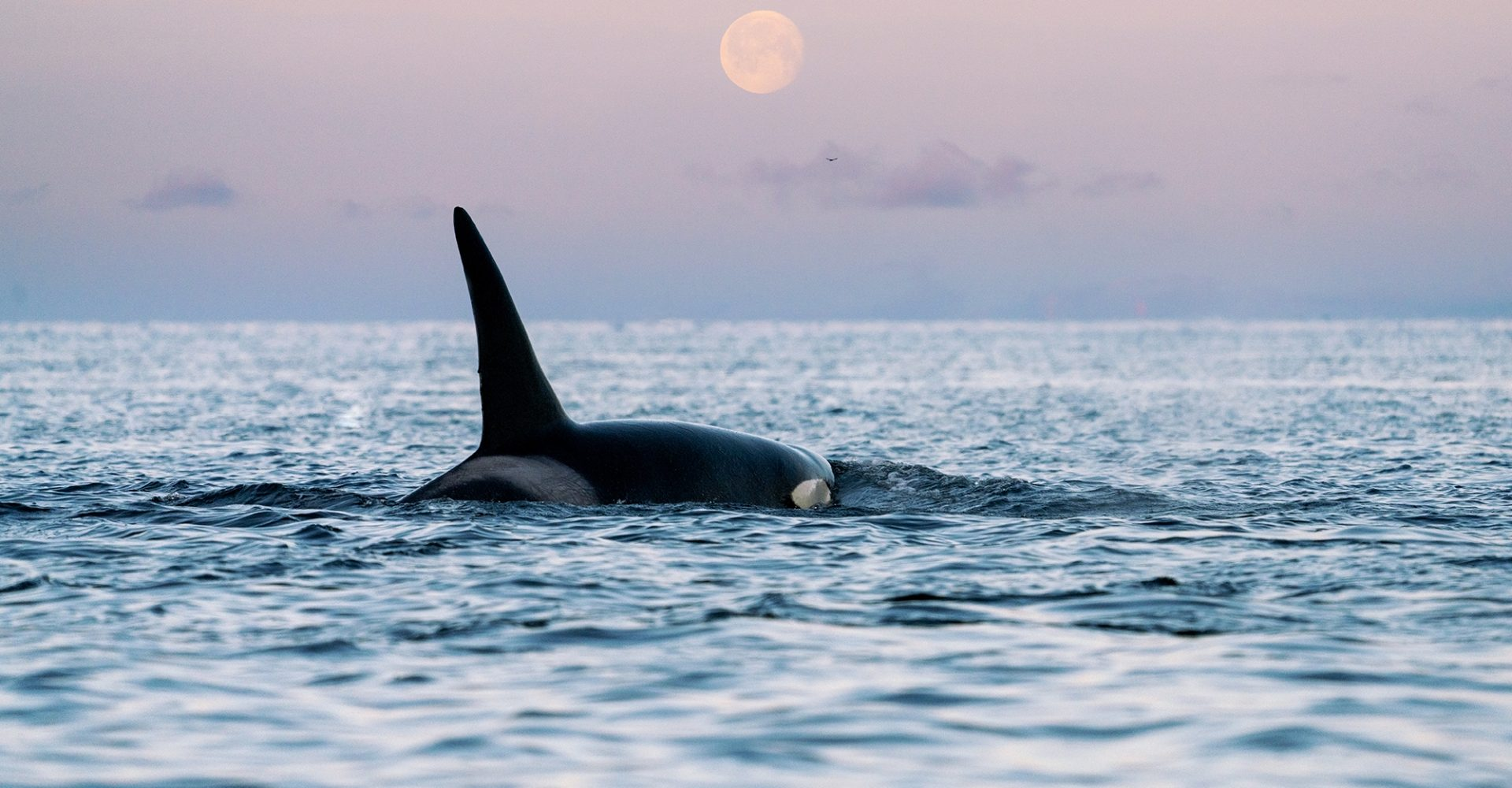 Orca at Moonlight in Norway